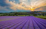 Lavender fields, Eng.