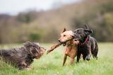 Three Dogs Play