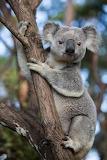 Koalas-australia-00523055.adapt .885.1