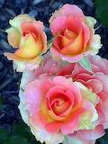 Roses, Pinterest