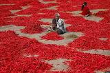 ^ Chili pepper harvest