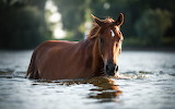 Brown horse walking in water