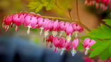 Bleeding-heart flower
