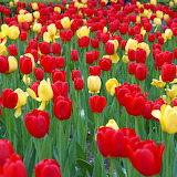 Tulips on Park Ave...