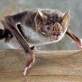 Murciélago hematófago