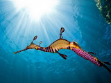 Sea dragon with pink eggs