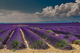 Provence-lavande