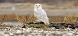 Snowy Owl In The Wild