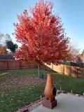 Myers tree Back yard