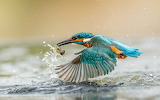 ^ Kingfisher with catch