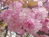 cherry, Sakura, Japan