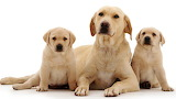 Dogs - Golden Retrievers