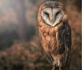 Owl - Barn Owl?