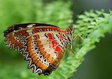 cethosia cyane butterfly