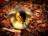 Little Duck...