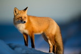 Brown-fox