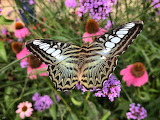 Butterflies - Blue Clipper