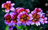 Цветы. Сальпиглоссис