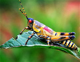 #Grasshopper- Beautiful But Poisonous