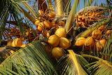healthy food-coconuts
