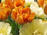 ^ Orange and cream tulips