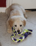 Little Golden Retriever Rescue Athena