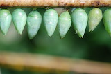 Insect Pupae