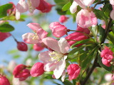 Branch with apple blossoms