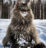 Snowy Maine Coon