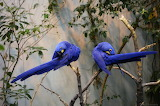 Parrots, blue, tree, branch, pair, Hyacinth macaw