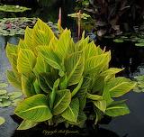 Water Plant Denver BotanicaL Garden