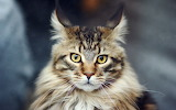 Maine-fluffy-coon-cat-look