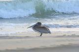 Brown pelican early morning beach walk