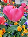 TCU Spring Tulips