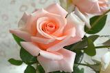Rose-4827