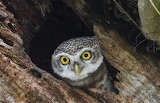 "Birds tumblr tangledwing ""Indian Spotted Owl"" Biju Boro:AFP:Gett"