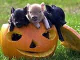 pigs in a pumpkin