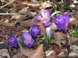 POTW Crocus first spring flowers