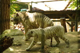 withe tiger