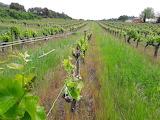 Vineyard in Mauressargue