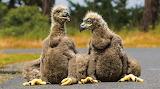 Baby eagles potw