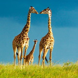 *Giraffes...