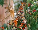 Butterflies Galore