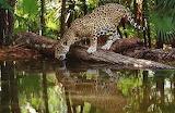 Wild Cat Leopard Drinking Water in Jungle