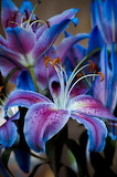 Beautiful blue lillies