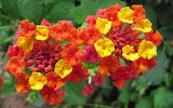 ^ Colorful Lantana flowers