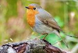 robin (Erithacus rublecula)