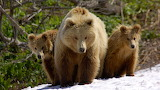 Mother and Cubs, Valley of the Geysers, Kronotsky Zapovednik, Ru