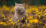 Gray-cat-orange-eyes-yellow-flowers