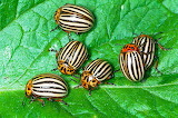 beetles on a leaf